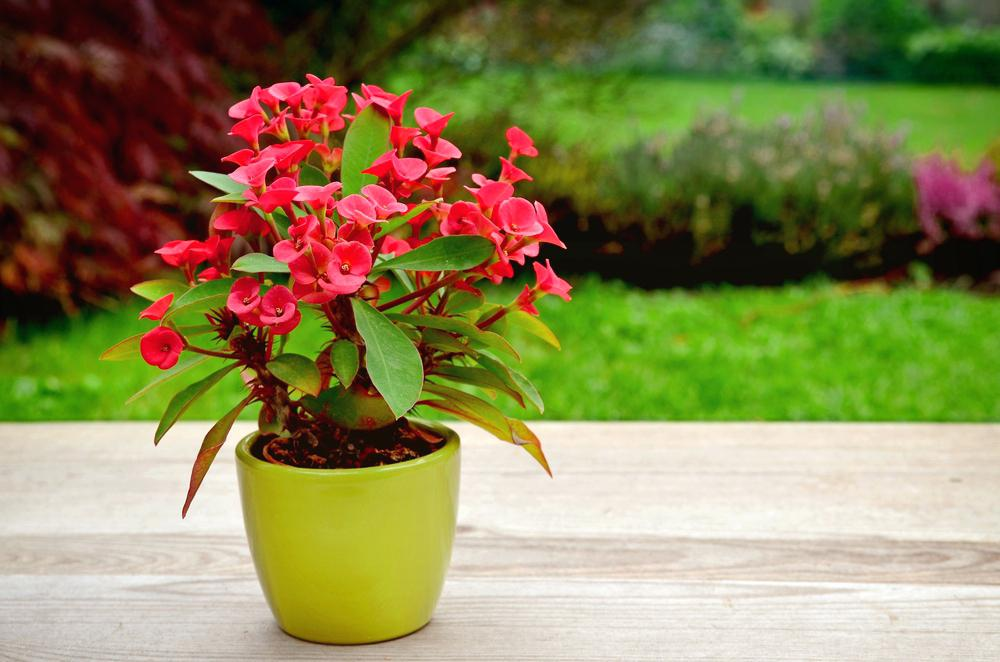 home-garden-plants-crown-of-thorns-home-garden-plants-in-sri-lanka1